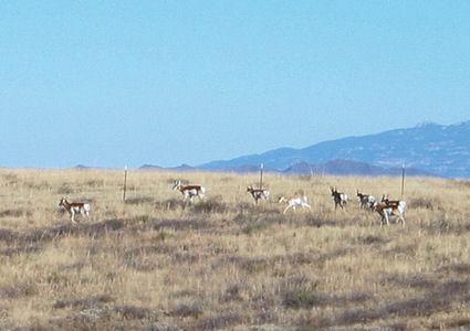 antelope-2.jpg